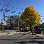 葉は散り始めているが、黄色の鮮やかさが青空に際立つ
