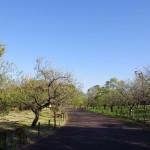10月、だいぶ葉が落ちた郷土の森の梅園