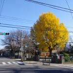青空を背景に黄色い葉が輝く普門寺の銀杏