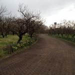 スイセンが咲いた梅園