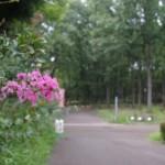 サルスベリの花も終盤