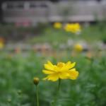 コスモスも咲き始めた