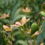 ヒオウギの花と実
