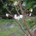 9月に咲いた郷土の森の10月桜