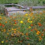 郷土の森のコスモス園に咲いたキバナコスモス