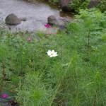 毎年コスモスが咲く花壇では、今年も花が咲き始めた