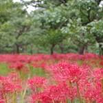 郷土の森の梅園に咲いたヒガンバナ(マンジュシャゲ)。