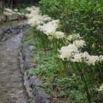 水車小屋へと続く流れに沿って咲くシロヒガンバナ