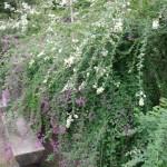二色咲き競う萩の花