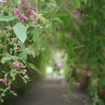 萩のトンネル内に伸びた枝に咲いている萩の花