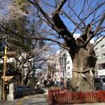 大鳥居わきの欅と桜