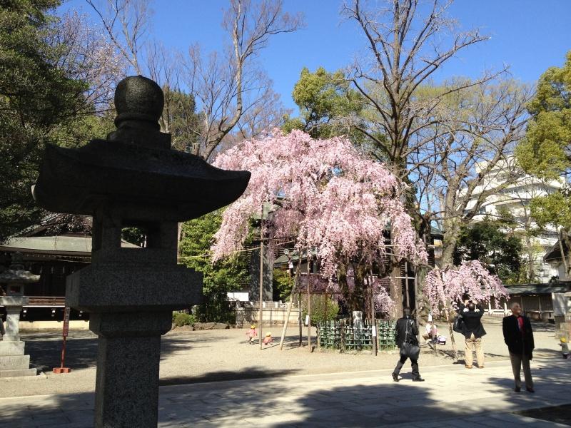 境内の大きなしだれ桜