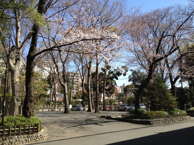参集殿前の桜