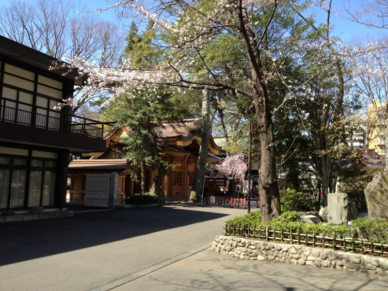 随神門わきに揃って咲く桜と枝垂桜