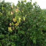 ロウバイ園も少し黄色い葉が見え始める