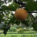 柿もすこしオレンジに色づく