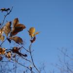 緩い陽射しを受ける紅葉した葉