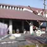 府中市郷土の森博物館前の盆栽も3・4割咲いた。