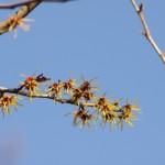 マンサクの花はほぼ満開