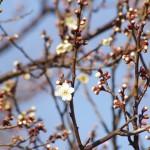 まだほとんど開花していない木もある