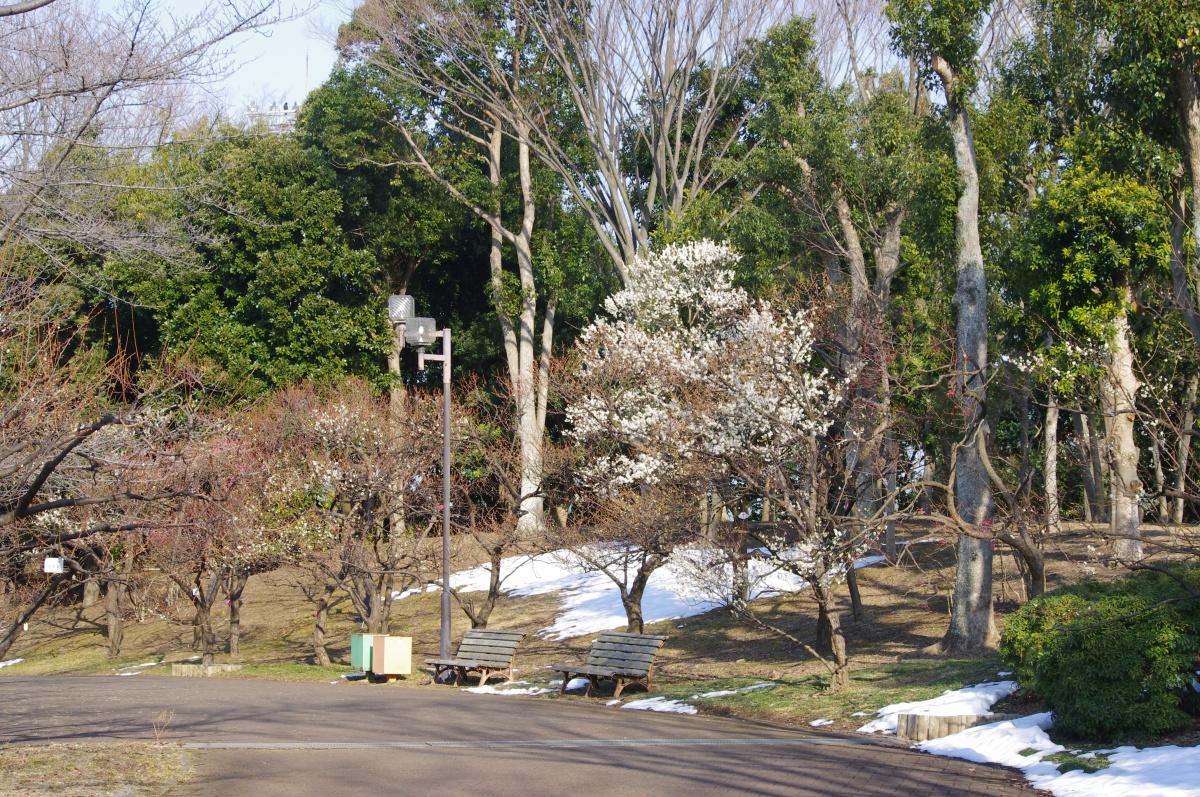 梅も雪も白い