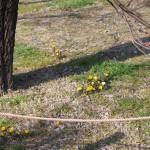 今年もたくさん咲いたフクジュソウ