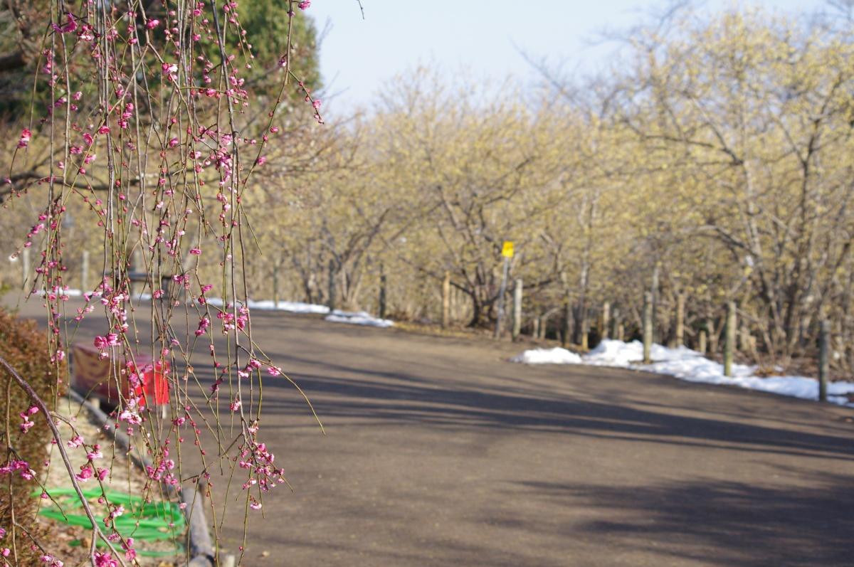蝋梅の小路をバックに咲き始めた紅枝垂