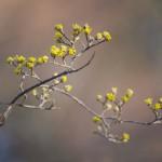 春を告げるサンシュユの黄色い花