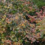 見事な柿の木