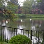 水面を悠々と進む白鳥たち